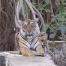 Tiger on safari in Ranthambhore National Park