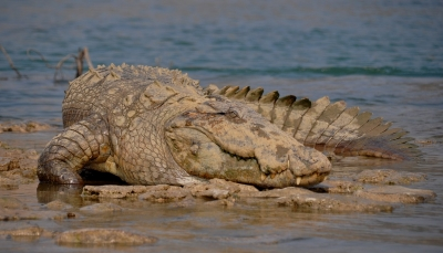 Crocodile safari at Chambal River in Ranthambhore