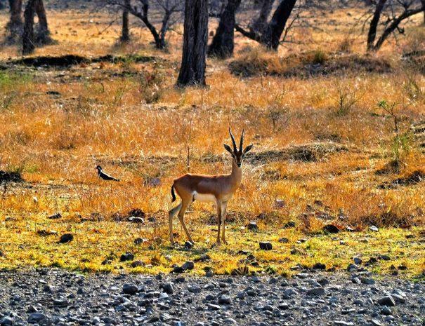 ranthambhore-deer