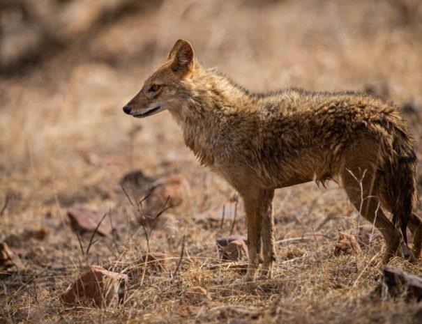 ranthambhore-safari-jackal
