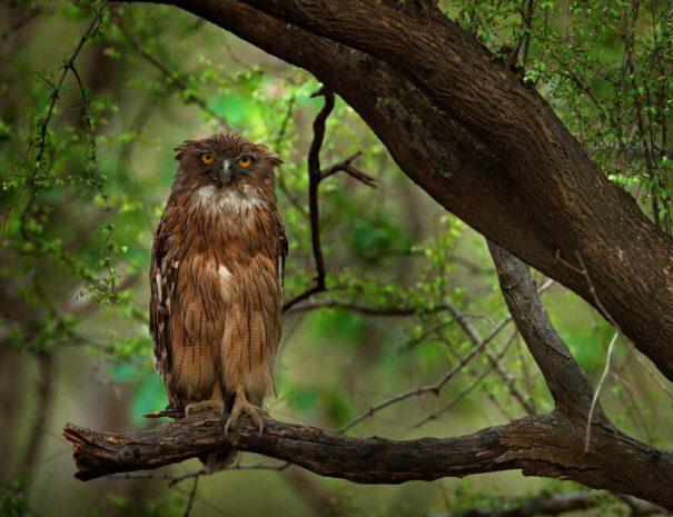 ranthambhore-safari-owl
