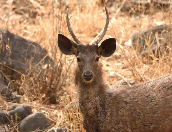 ranthambhore-safari-deer