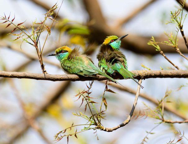 Bee-eater birds at Surwal Lake near Ranthambhore, Rajasthan