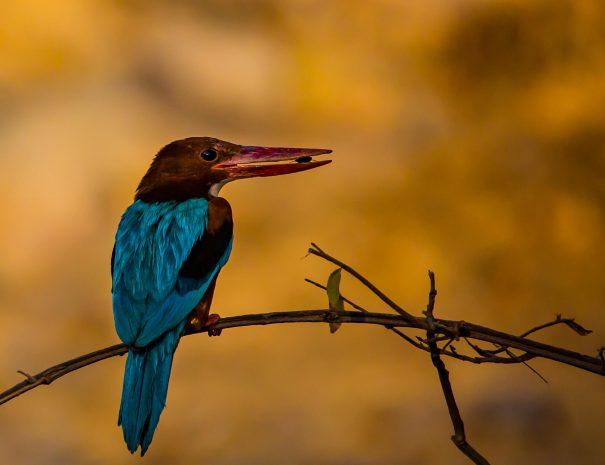 Kingfisher bird at Surwal Lake near Ranthambhore, Rajasthan