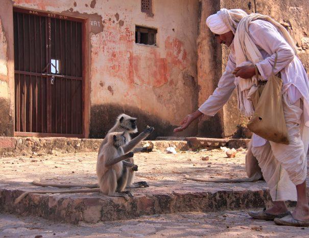 Man feeds a langur monkey at Ranthambhore Fort, Rajasthan