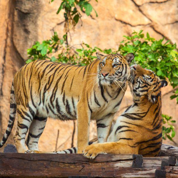 Ranthambhore tigers