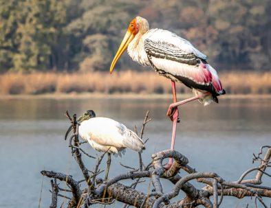 Painted storks at Surwal Lake near Ranthambhore, Rajasthan
