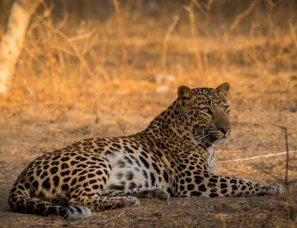 ranthambhore-safari-leopard