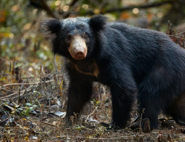 ranthambhore-safari-sloth-bear