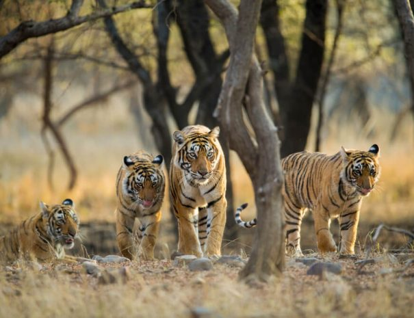 Family of tigers in Ranthambhore National Park